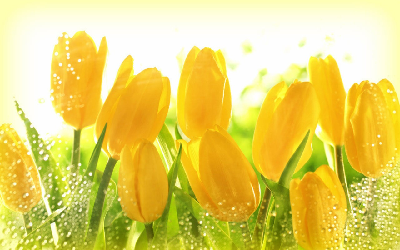 - Hd - Yellow Roses Or Tulips , HD Wallpaper & Backgrounds