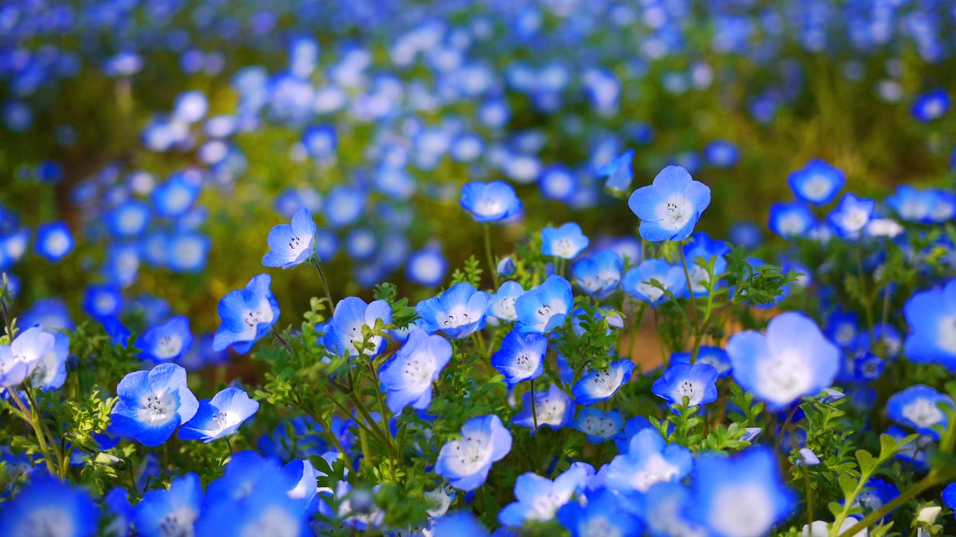 blue flowers garden desktop background field of blue roses 2015795 hd wallpaper backgrounds download blue flowers garden desktop background