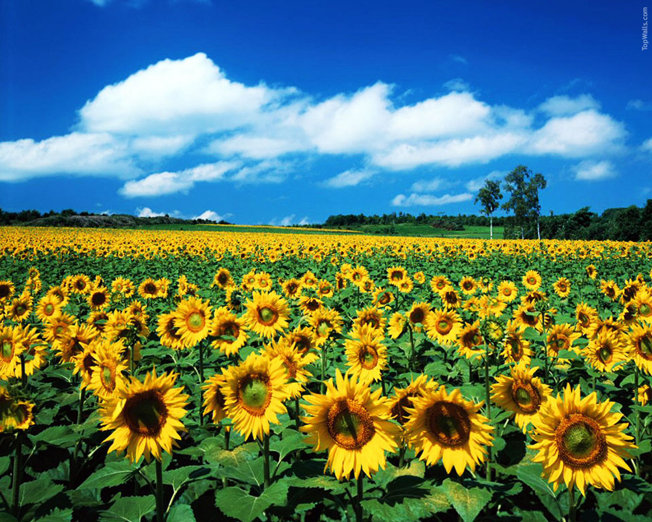 Sunflower Wallpaper Sunflower Wallpaper Field 2028182 Hd Wallpaper Backgrounds Download