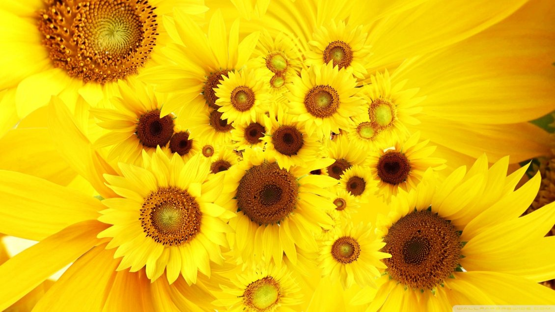Download Wallpaper Golden Flowers - Fondos De Pantalla Para Pc Girasoles , HD Wallpaper & Backgrounds