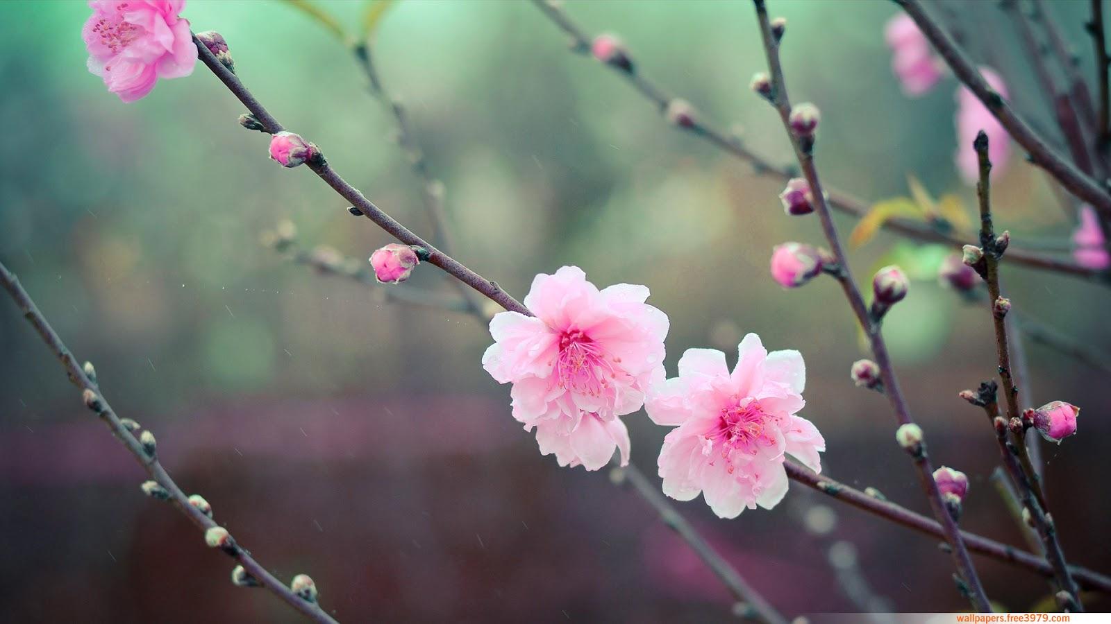 Cherry Blossom Flower Japanese Cherry Blossom Flower 2040211