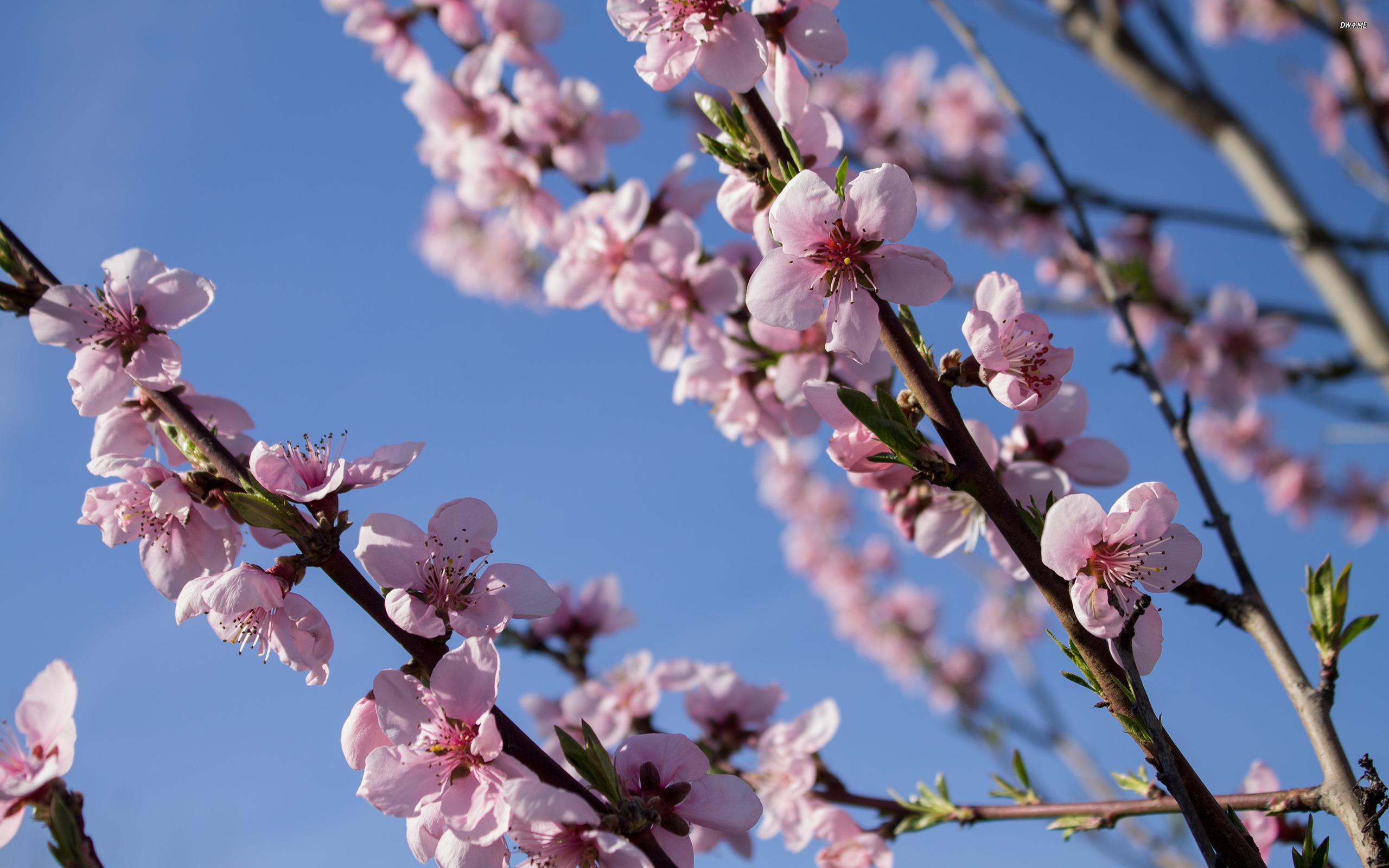 Peach Tree Wallpaper - Cherry Blossom , HD Wallpaper & Backgrounds