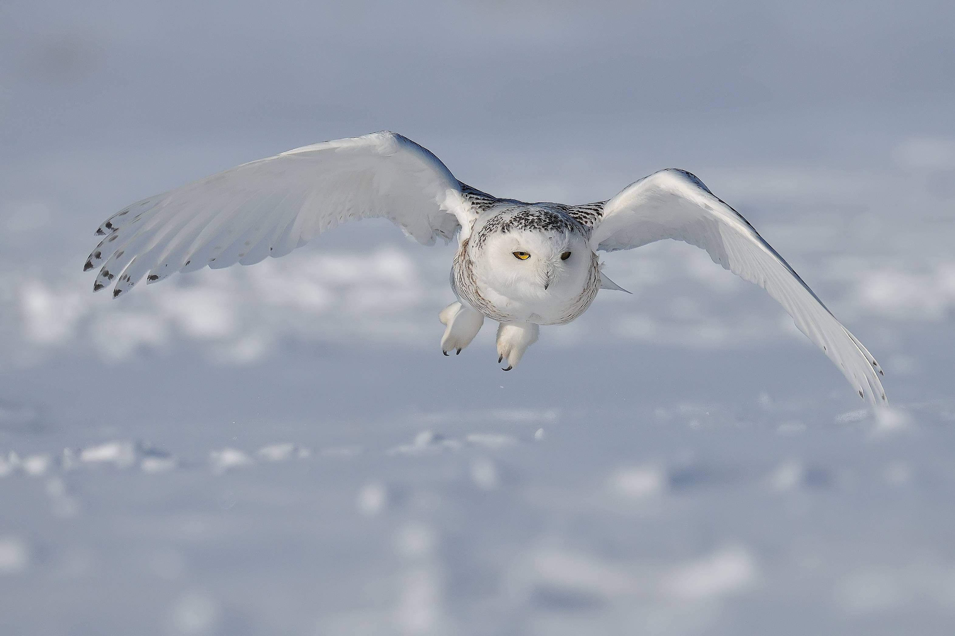 Snowy Owl Wallpaper Snowy Owl In Winter 2041087 Hd
