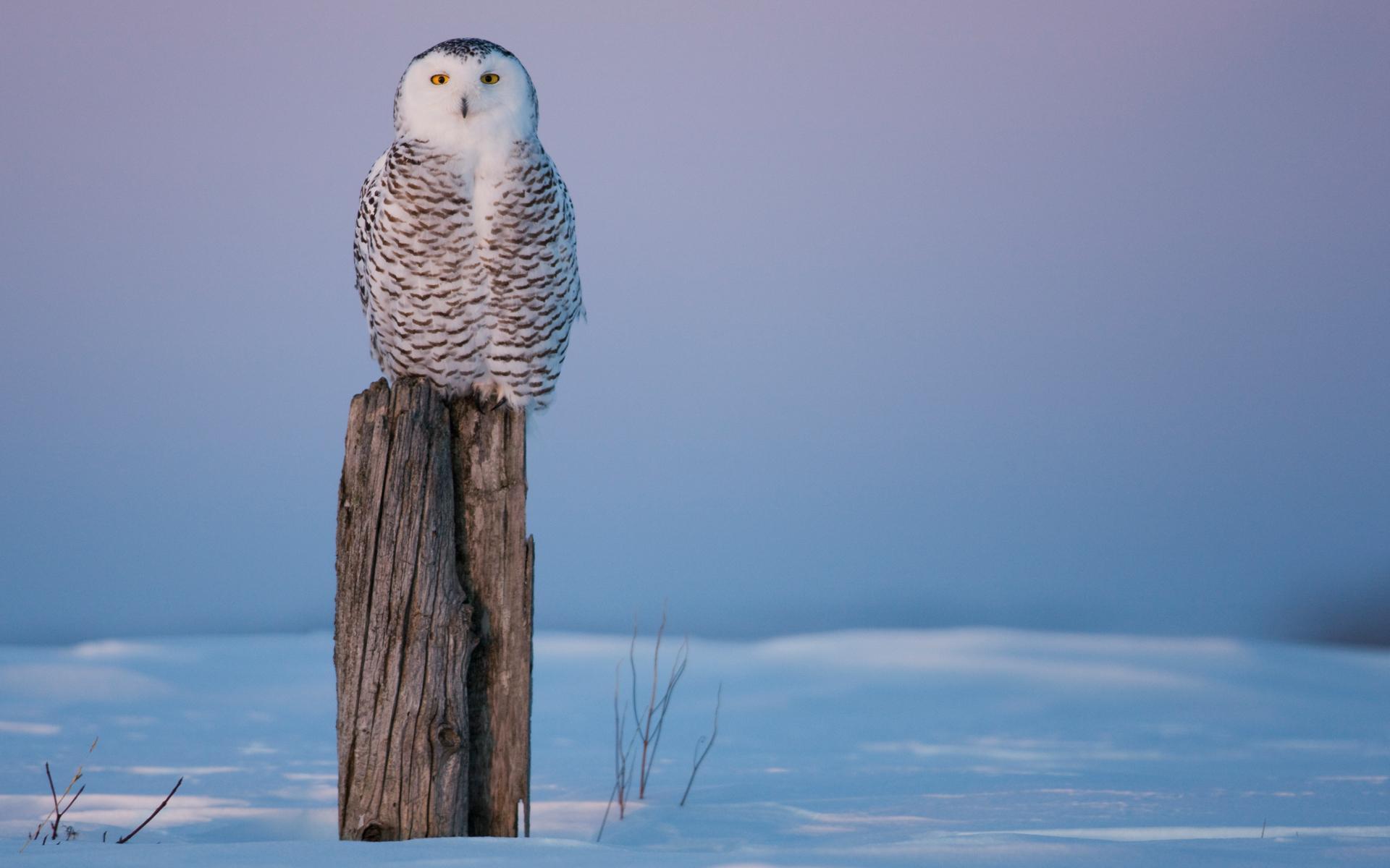 Snowy Owl Wallpaper Desktop Backgrounds For Dell Laptop 2041412 Hd Wallpaper Backgrounds Download