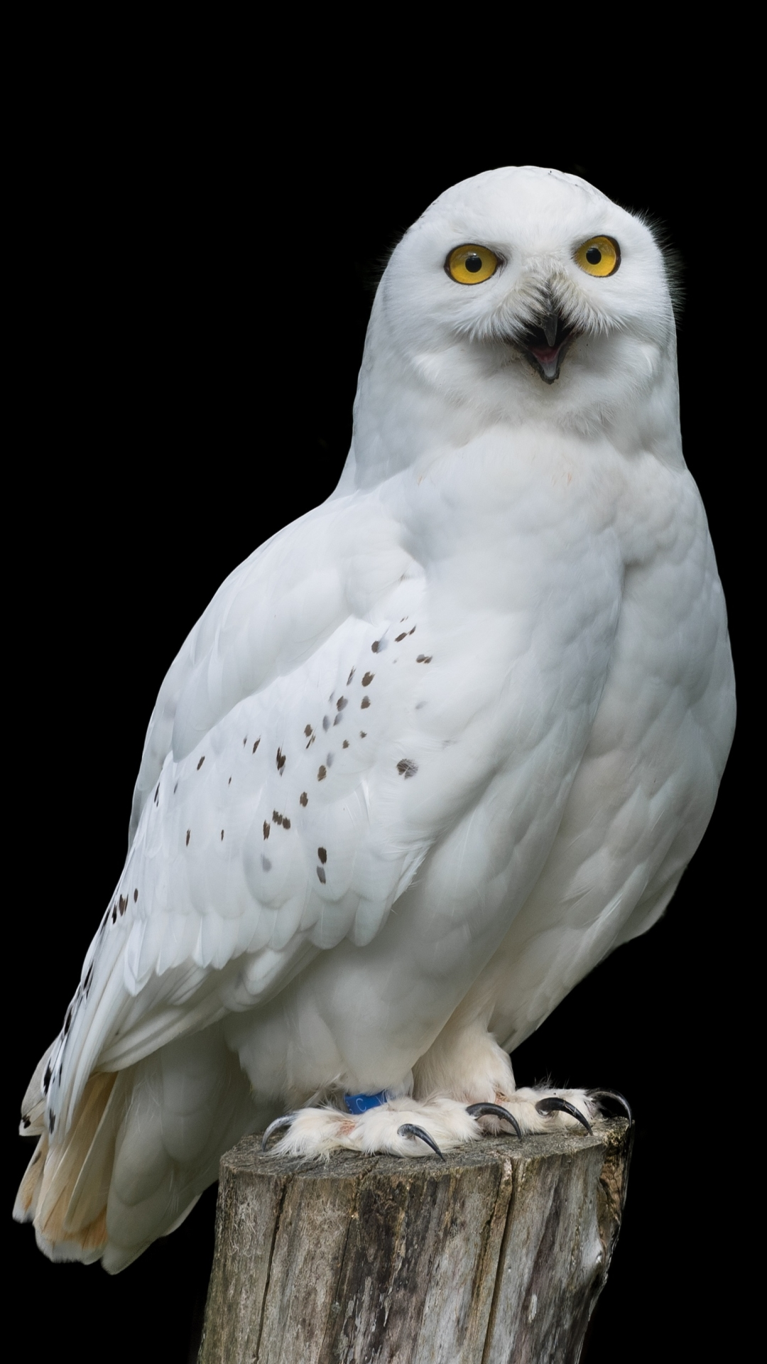 Animal Snowy Owl Mobile Wallpaper Snowy Owl Wallpapers