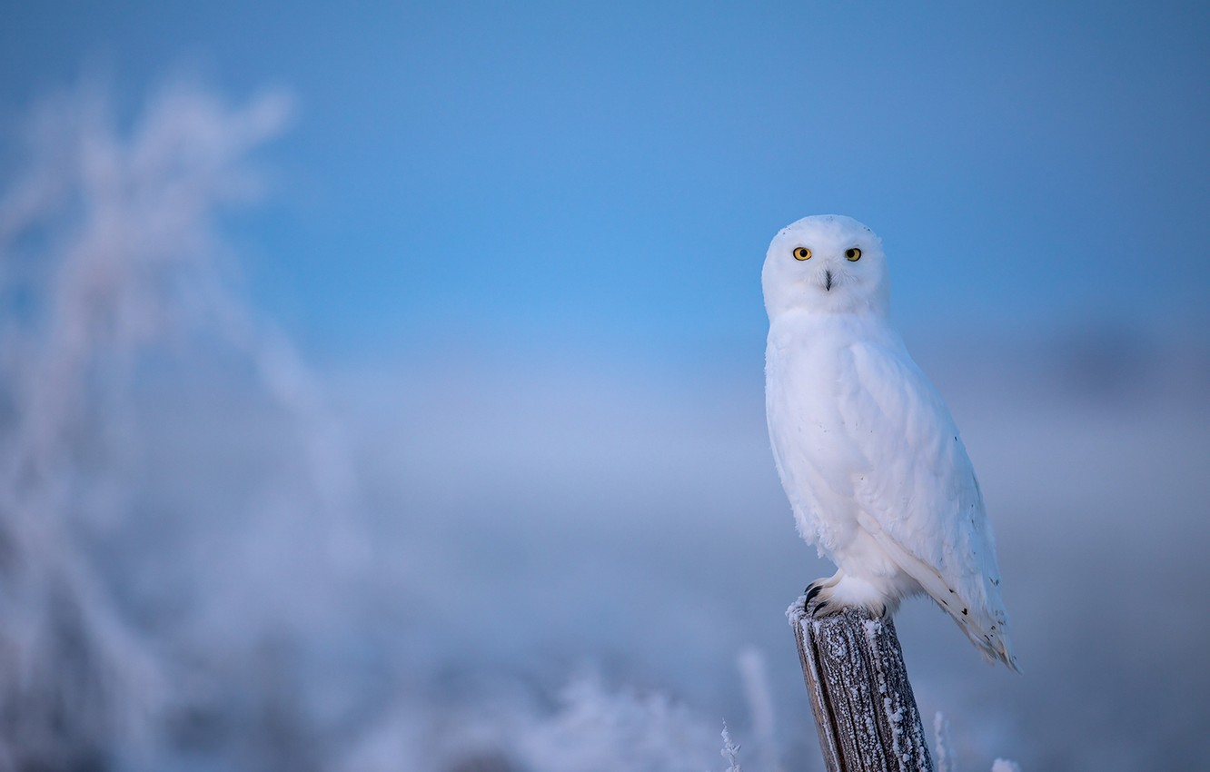 Photo Wallpaper Winter Frost Owl Bird Post Blue Snowy