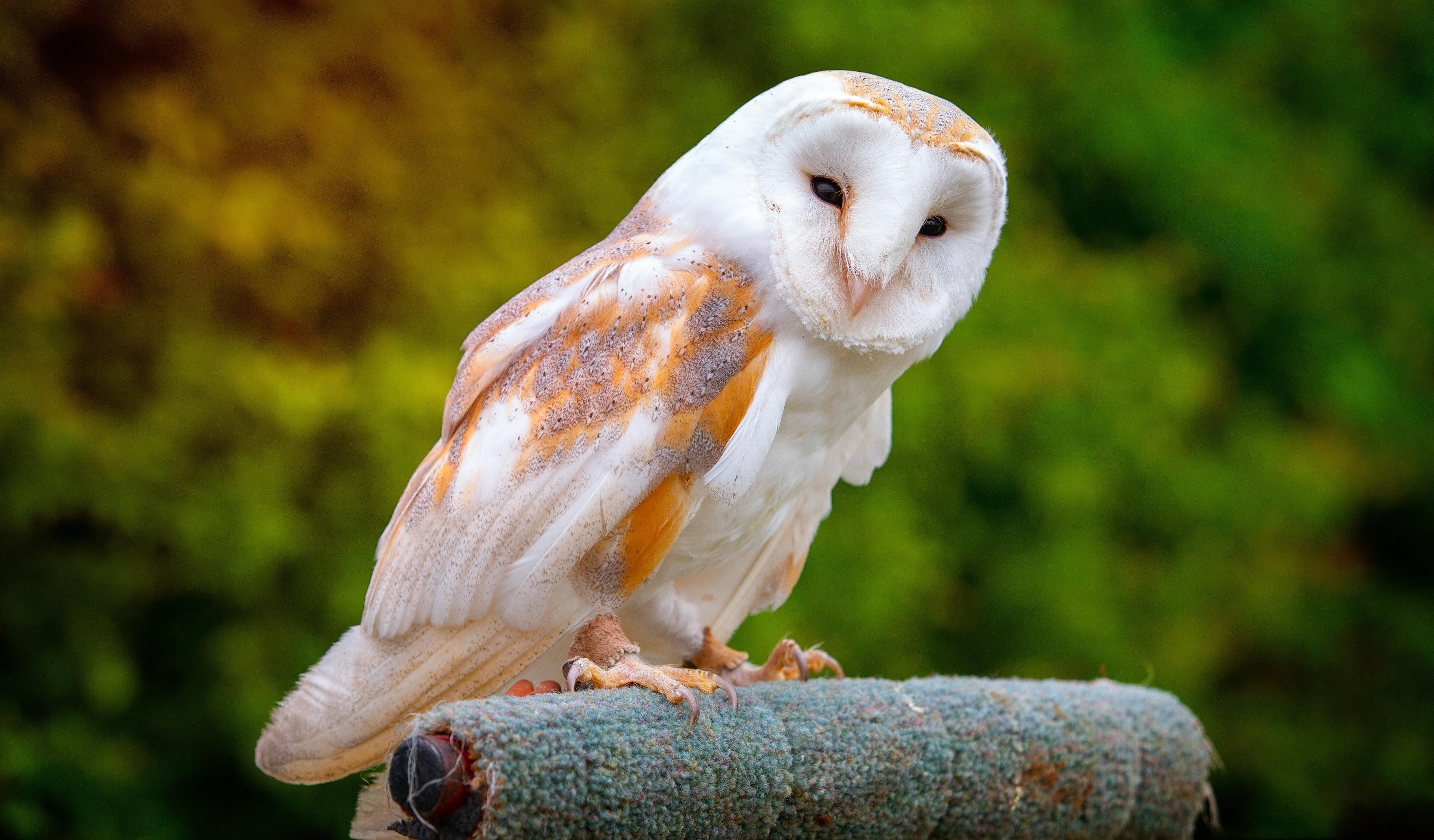 Barn Owl Portrait Predator Wallpaper Owls Hd Wallpaper