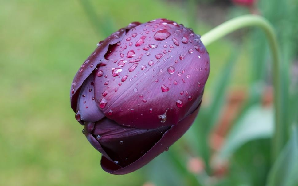 One Purple Tulip Flower Macro, Water Drops Wallpaper - Water Drops On Tulips , HD Wallpaper & Backgrounds