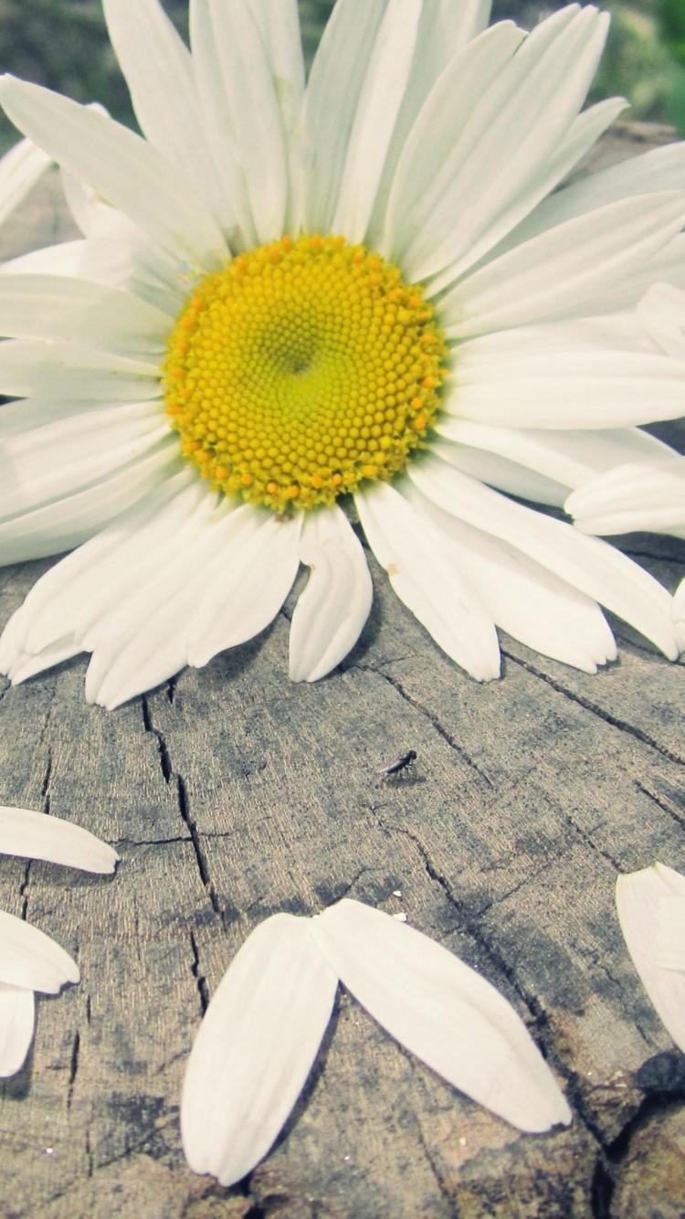 Petal, Daisy, Daisy Family, Leucanthemum, Yellow Wallpaper - Ромашки Любовь , HD Wallpaper & Backgrounds