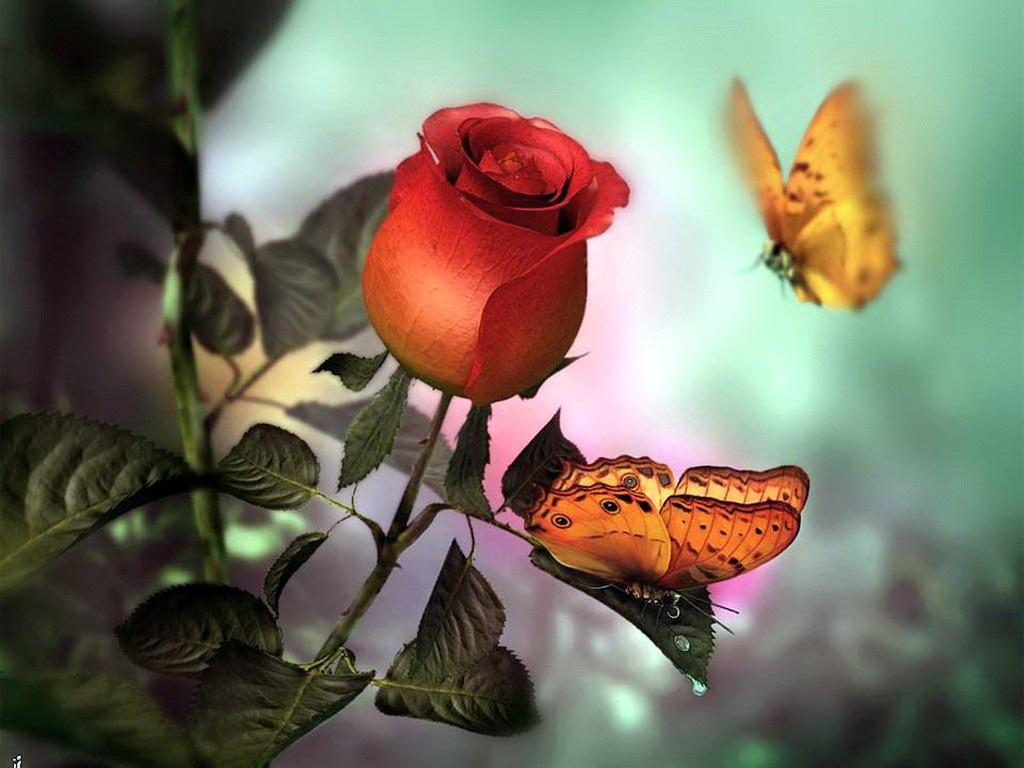 Butterfly Red Roses Butterflies Rose Allure Flowers - Butterfly Red Rose Flowers , HD Wallpaper & Backgrounds