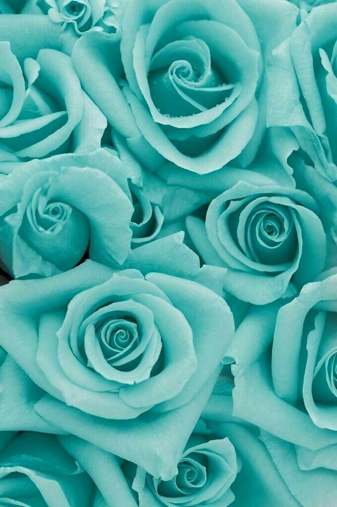 Teal Roses Wallpaper - Aqua Roses , HD Wallpaper & Backgrounds