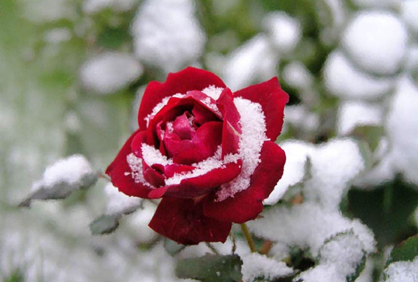 Daffodil Snow Flowers Spring Garden Flower Desktop , Red