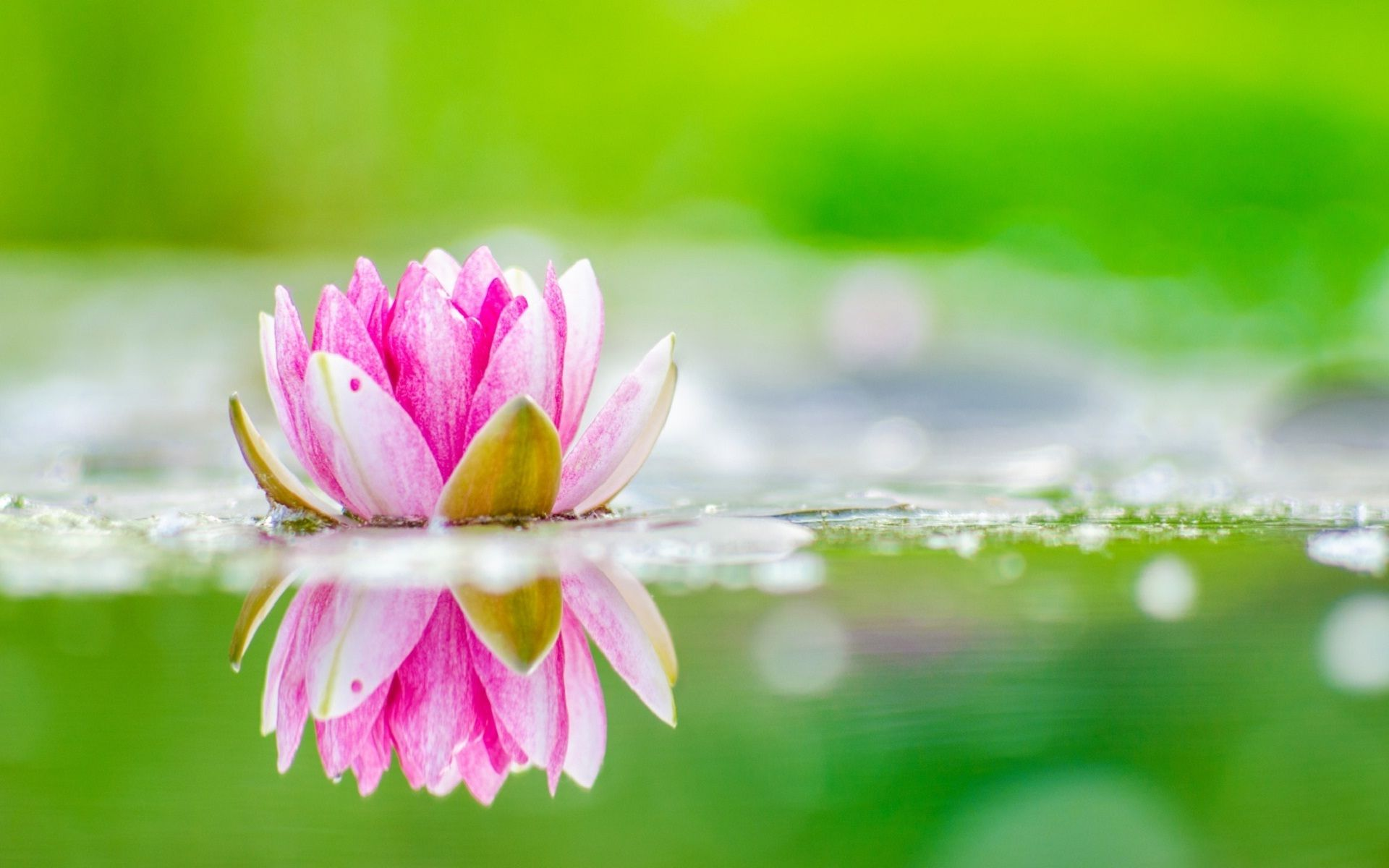 Pink Lotus Flowers With Beautiful Nature Wallpapers - Water Lily Wallpaper Hd , HD Wallpaper & Backgrounds