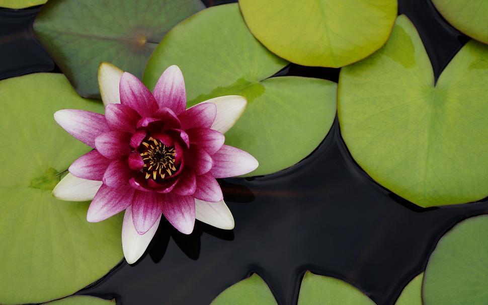 Beautiful Water Lotus Flower Wallpaper - Beautiful Water Lotus Flower , HD Wallpaper & Backgrounds