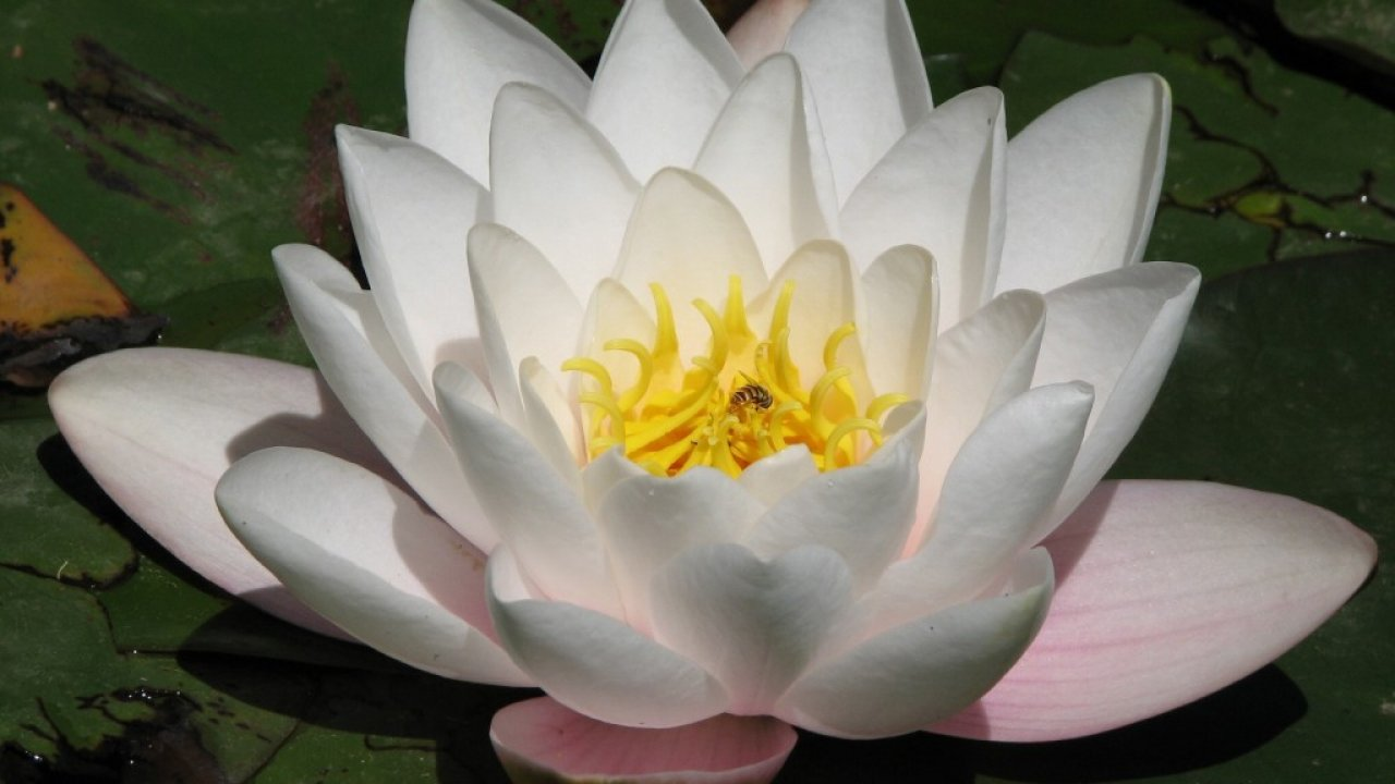Beautiful, New, Hd, Wallpapers, Of, Lotus, Flowers, - Lotus Flower , HD Wallpaper & Backgrounds