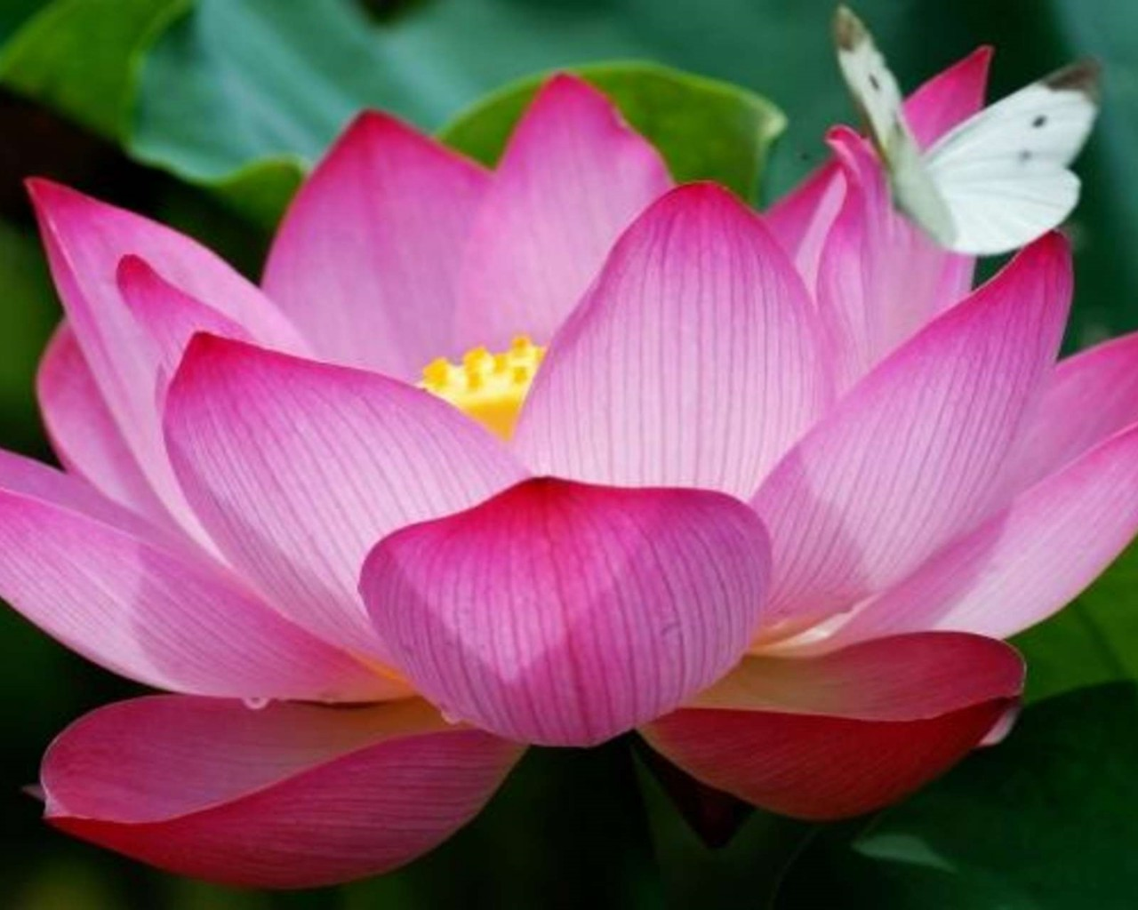 Butterfly On A Lotus , HD Wallpaper & Backgrounds