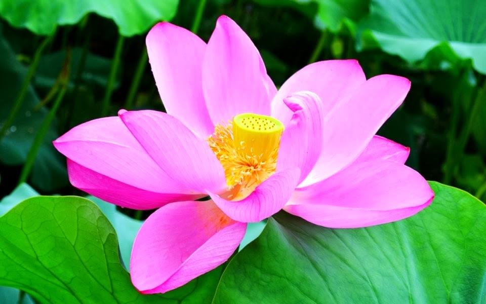 Pink Lotus Flowers Hd Wallpapers - Flower Hd Lotus , HD Wallpaper & Backgrounds