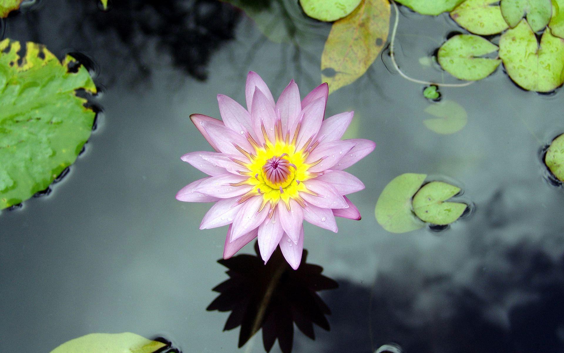 Beautiful Lotus - Tejgyan Global Foundation , HD Wallpaper & Backgrounds