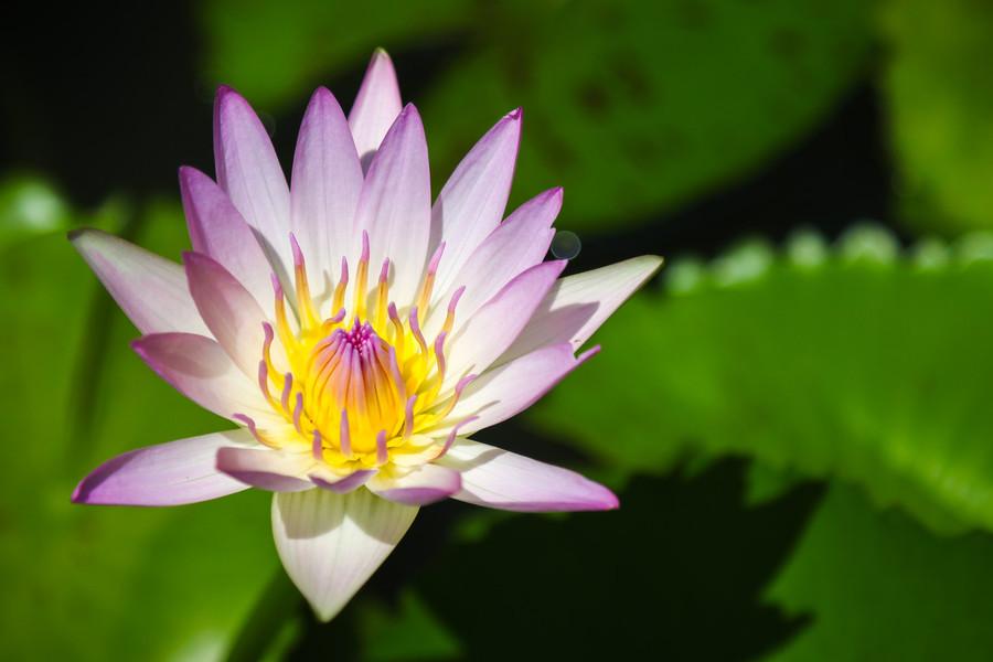 Lotus With Sunshine Beautiful Light Sunlight Background - Sacred Lotus , HD Wallpaper & Backgrounds