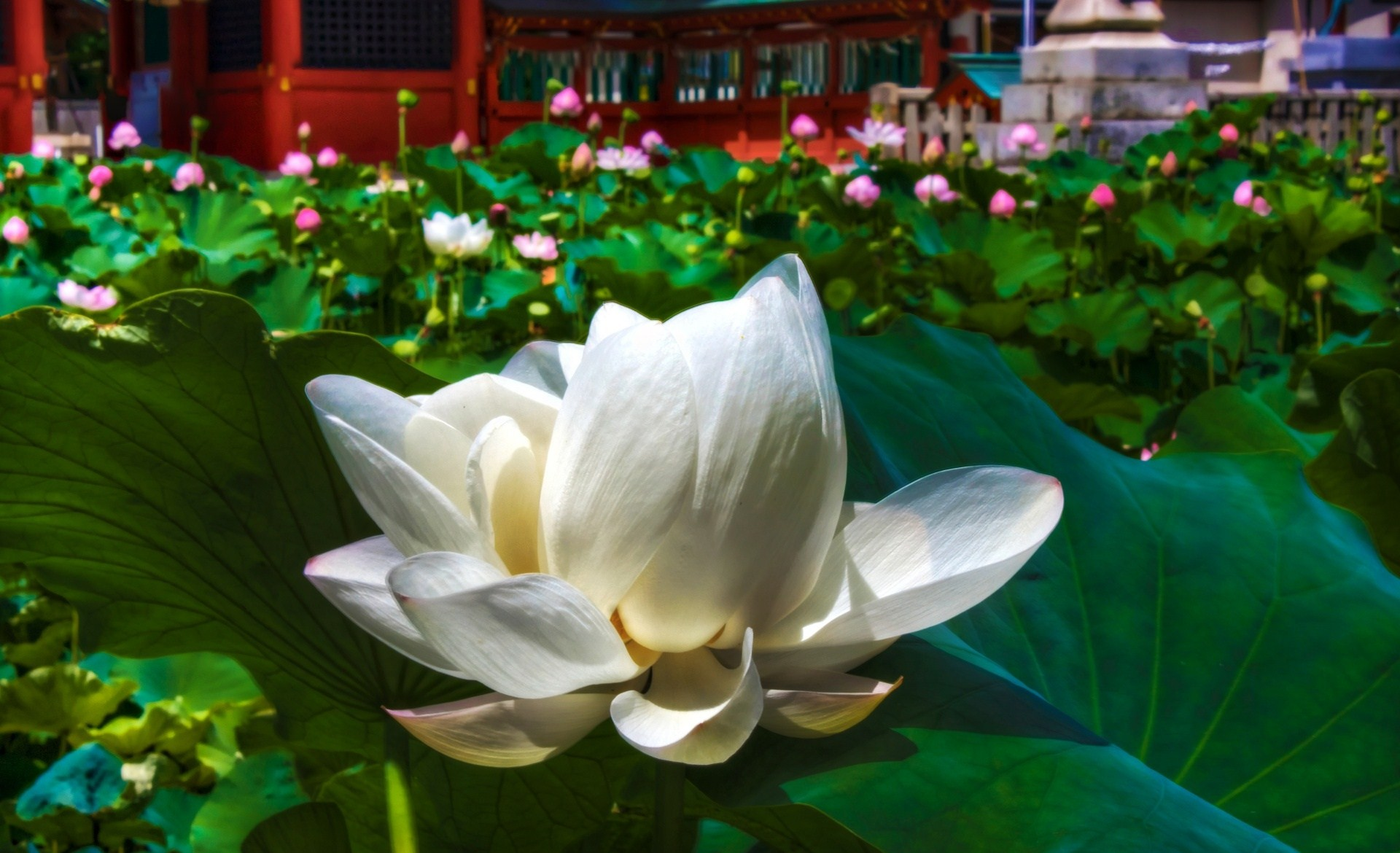 White Lotus Flowers Nature Wallpaper Flower Free Download - Super Extended Graphics Array , HD Wallpaper & Backgrounds