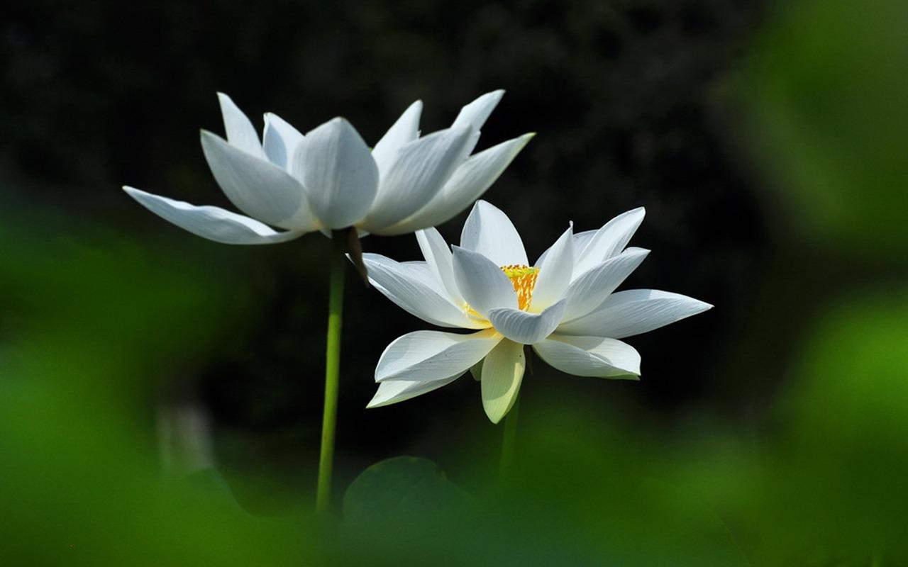 Plants / Joan Powder Jade White Lotus-flower Photograph - Lotus Flower Rosa Hd , HD Wallpaper & Backgrounds