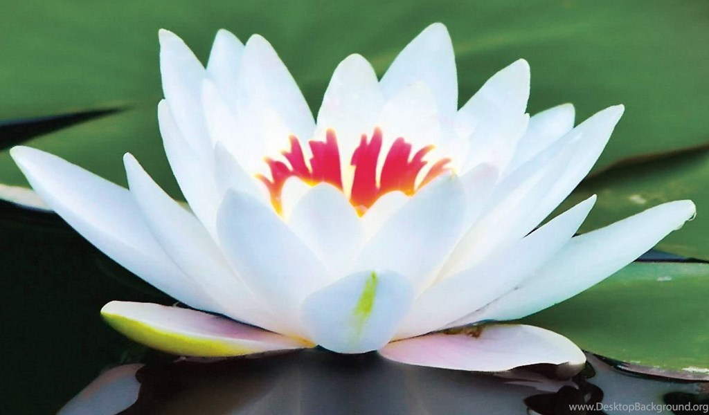 Playstation - - Big White Lotus Flower , HD Wallpaper & Backgrounds