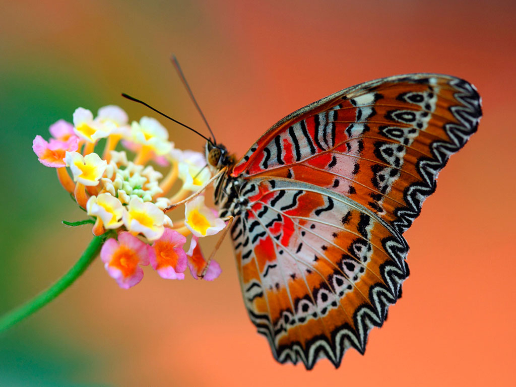 Butterfly Wallpapers Butterfly Wallpapers Butterfly - Natural Butterfly Wallpaper For Mobile , HD Wallpaper & Backgrounds