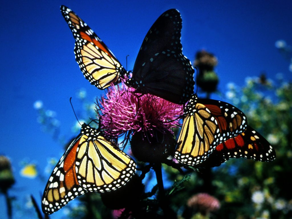 Animated Butterflies Wallpapers Colorful Butterfly - Monarch Butterfly , HD Wallpaper & Backgrounds