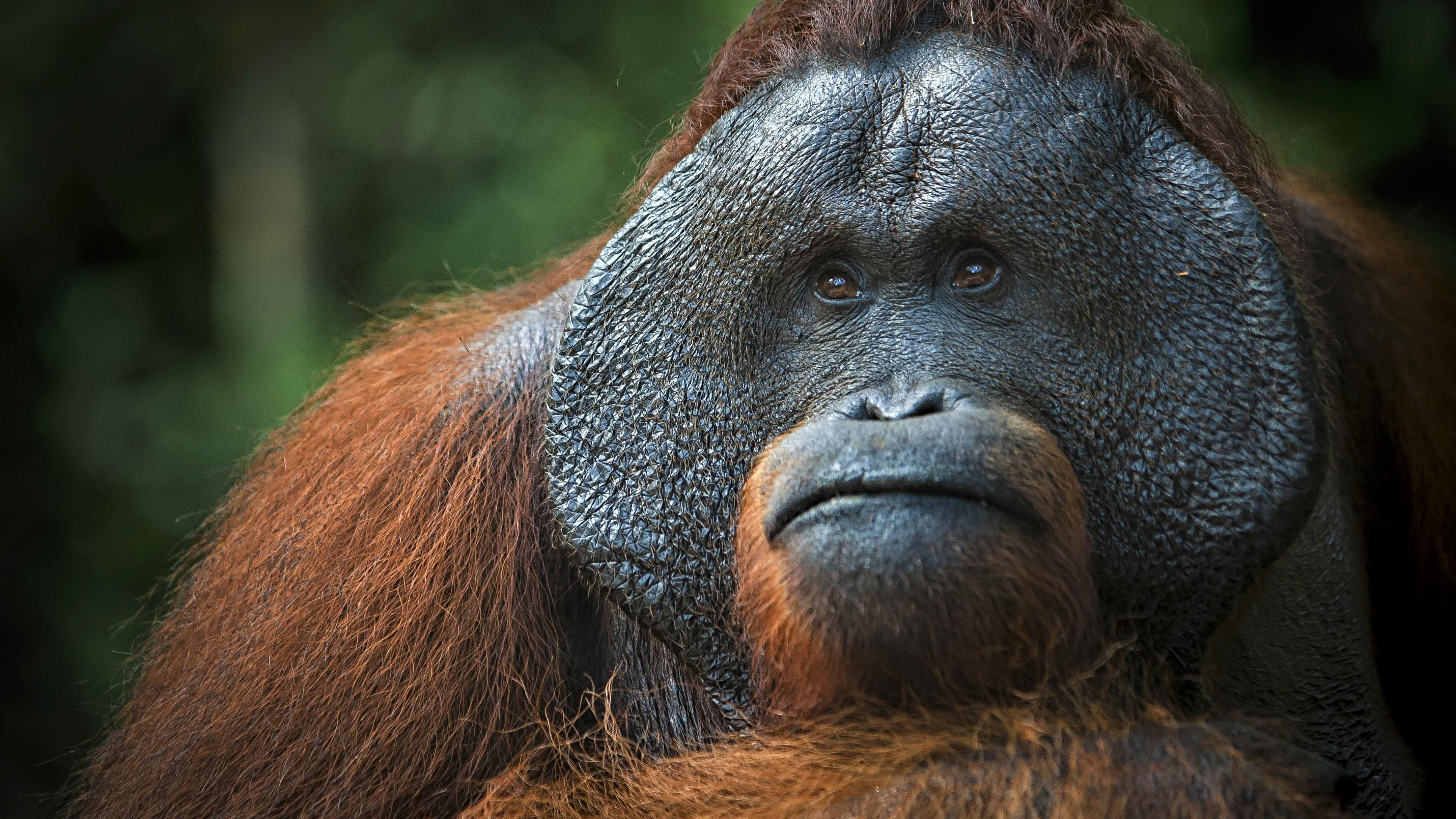 Golden Snub Nose Monkeys Uhd 4k Wallpaper - 4k Ultra Orangutan 4k , HD Wallpaper & Backgrounds