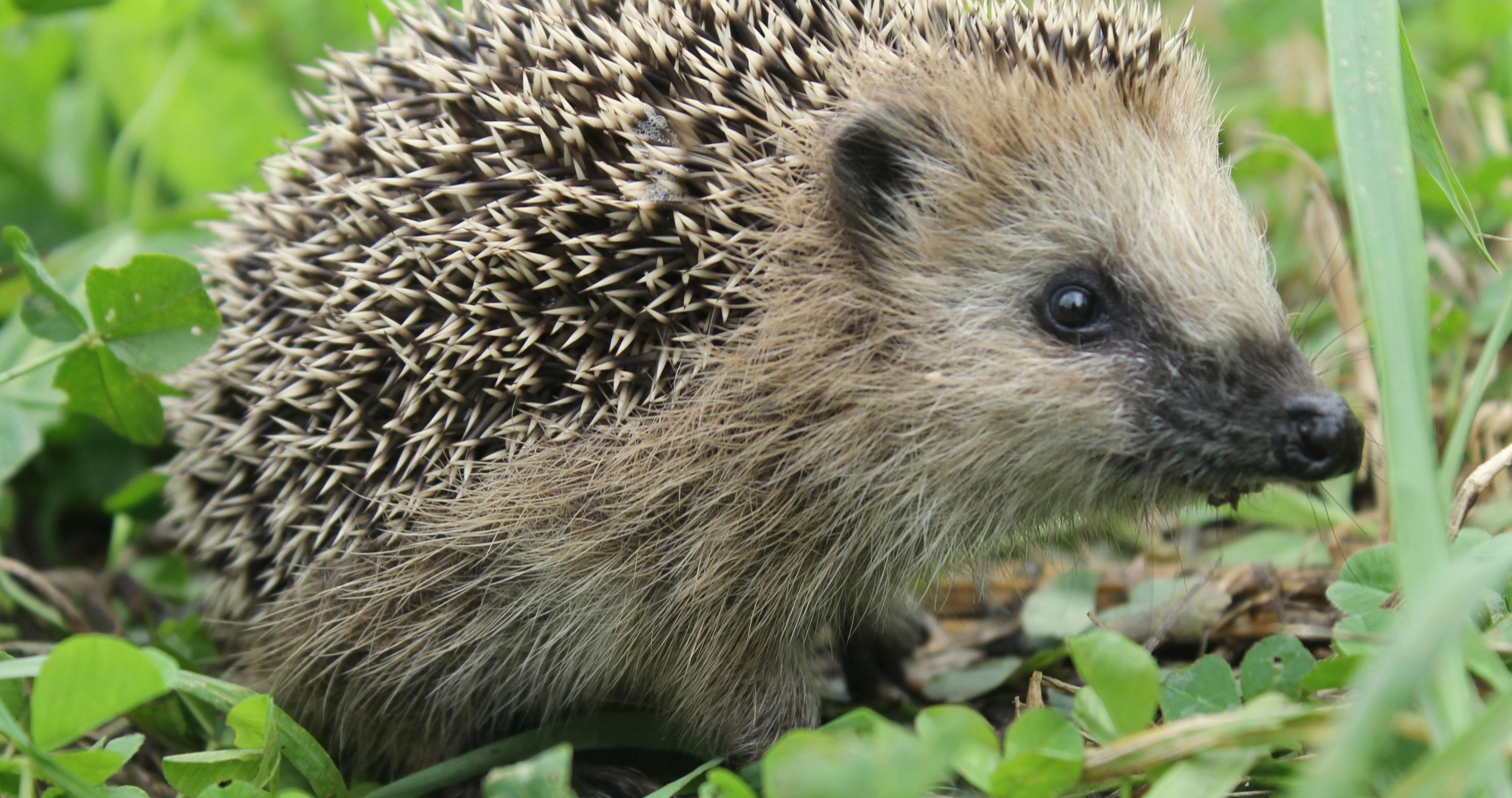 Hedgehog Animal Hd 4k Ultra Hd Wallpaper - 4k Hedgehog , HD Wallpaper & Backgrounds