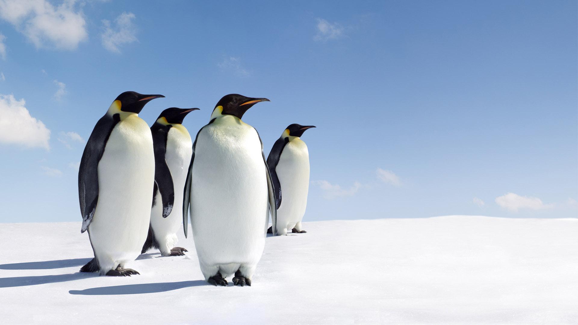 Amazing Animal Wallpapers - Emperor Penguin , HD Wallpaper & Backgrounds
