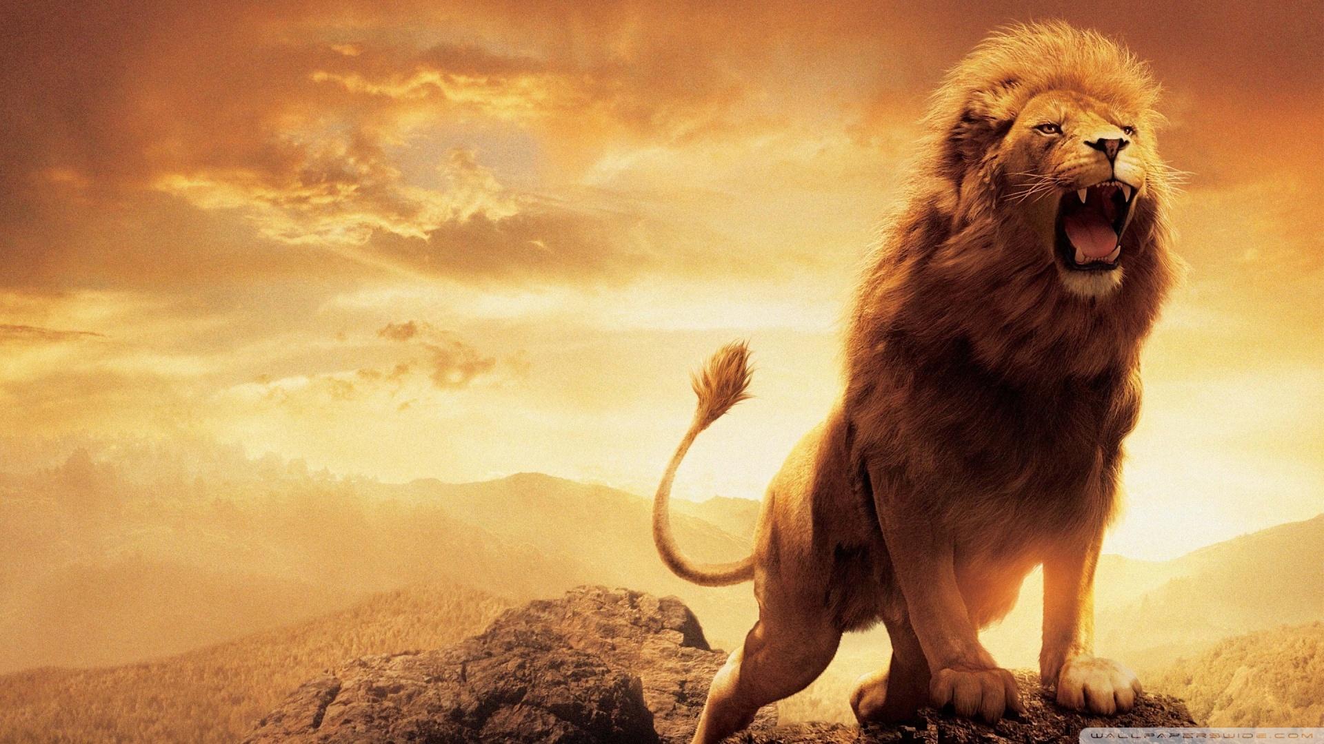 Hd 16 Hd Wallpapers 1080p Lion 2131092 Hd Wallpaper