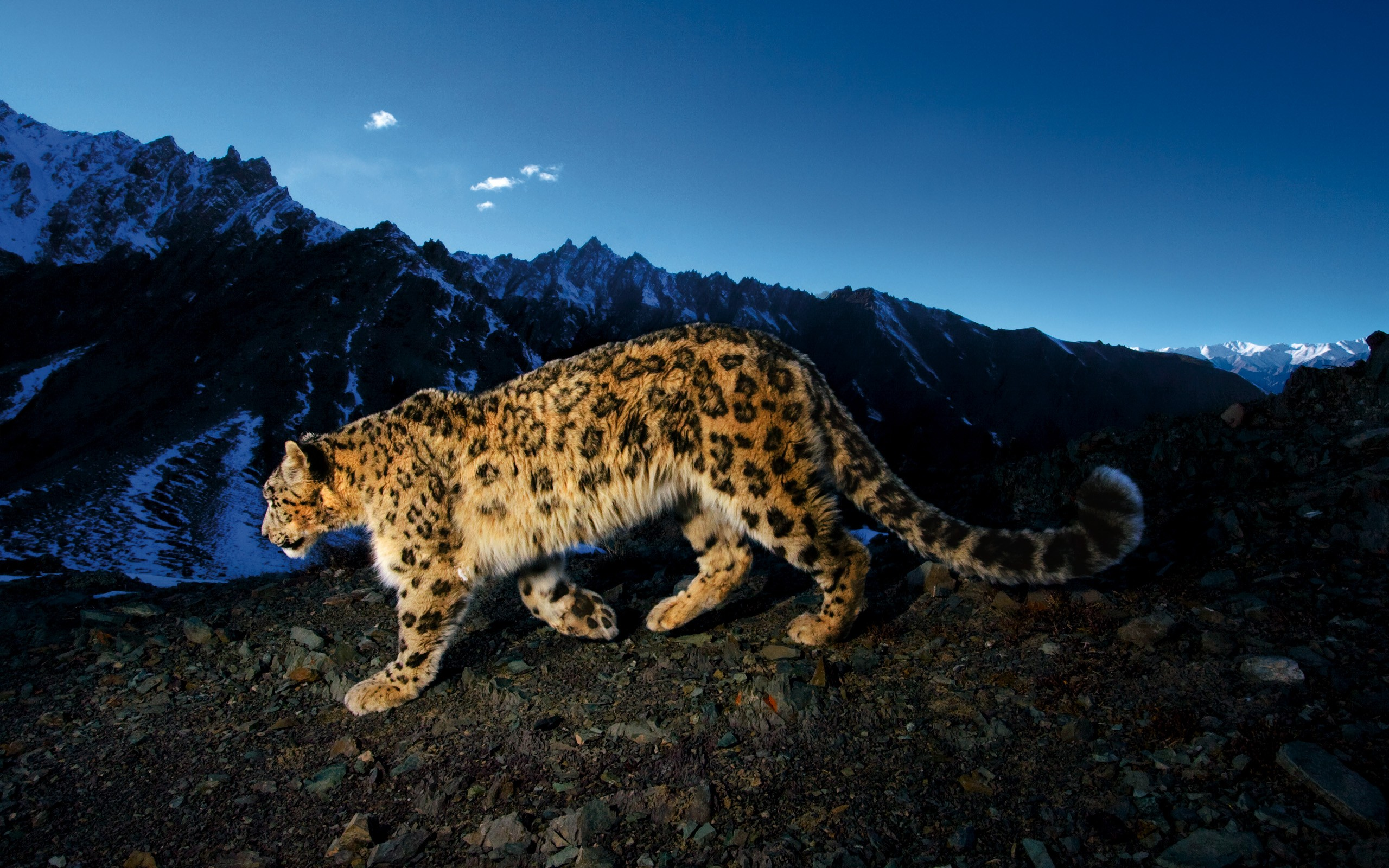 #animals, #mountains, #big Cats, #snow Leopards, #landscape - Snow Leopard , HD Wallpaper & Backgrounds