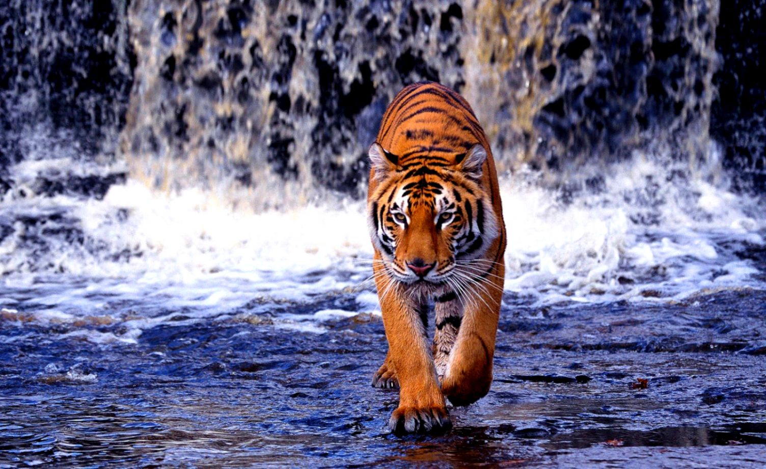 51 Tiger Animal Facts & Backgrounds Hd Wallpapers Download - Tiger Full Hd , HD Wallpaper & Backgrounds