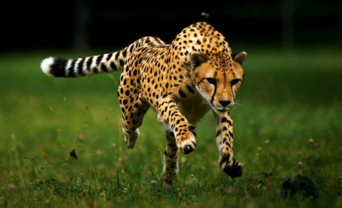 Most 50 Cheetah Animals Photos Hd Wallpapers Free Download