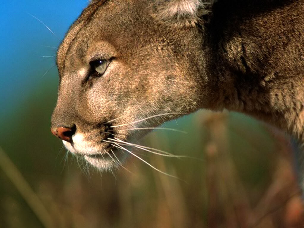 Ready To Attack Puma - Mountain Lion Hd , HD Wallpaper & Backgrounds