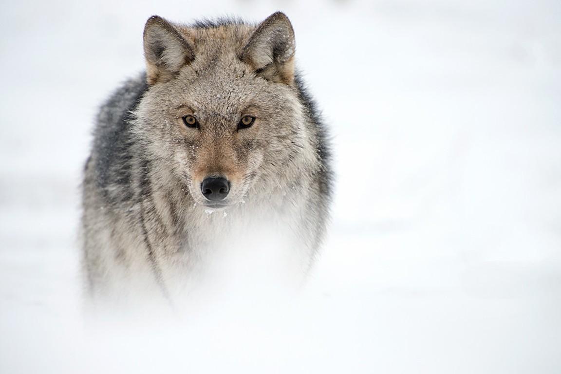 Other Wolves Canislupus Art Black White Wisdom Timber Wolf