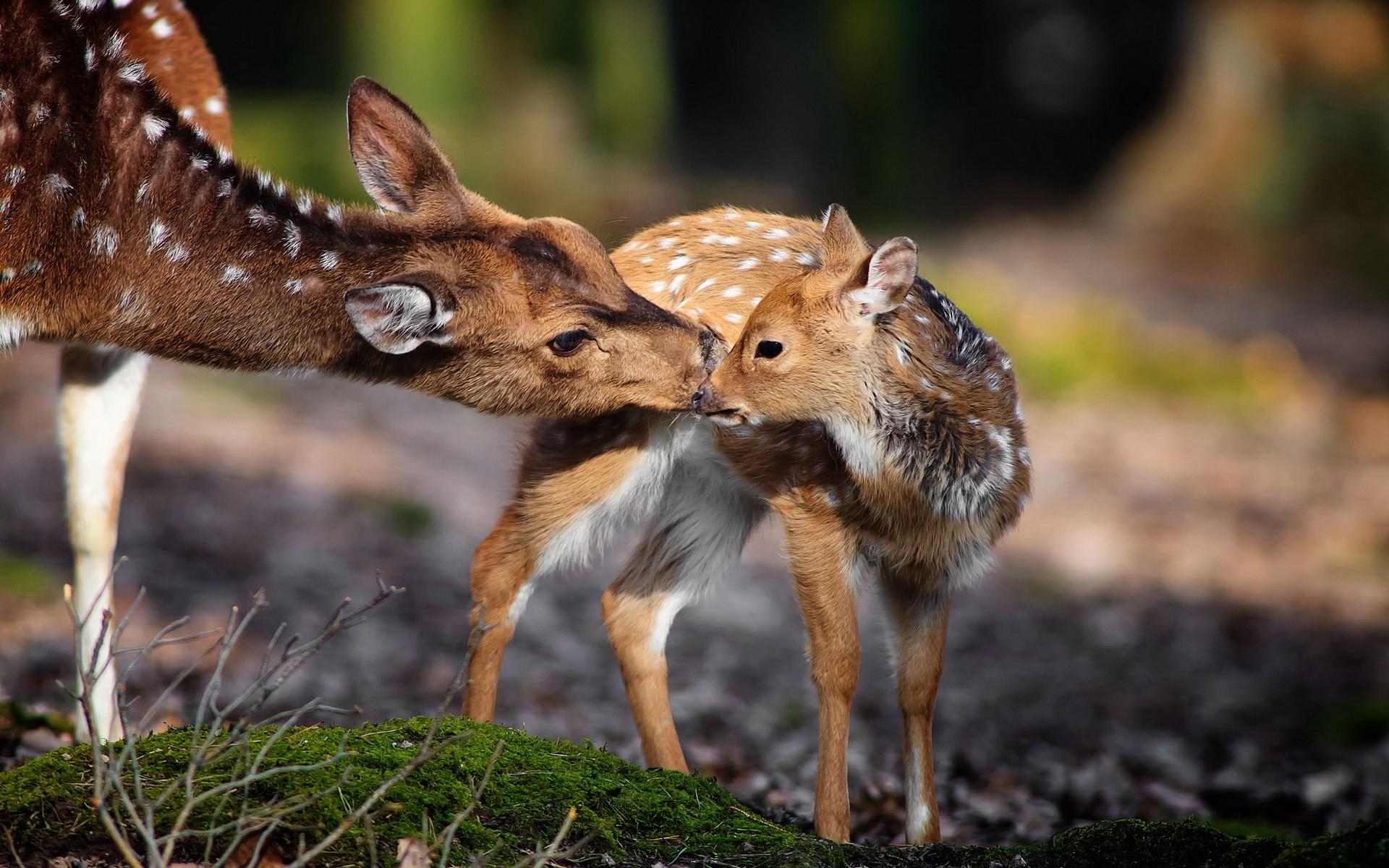 Nature, Animals, Deer, Baby Animals Wallpapers Hd / - Desktop Wallpaper Animals Nature , HD Wallpaper & Backgrounds