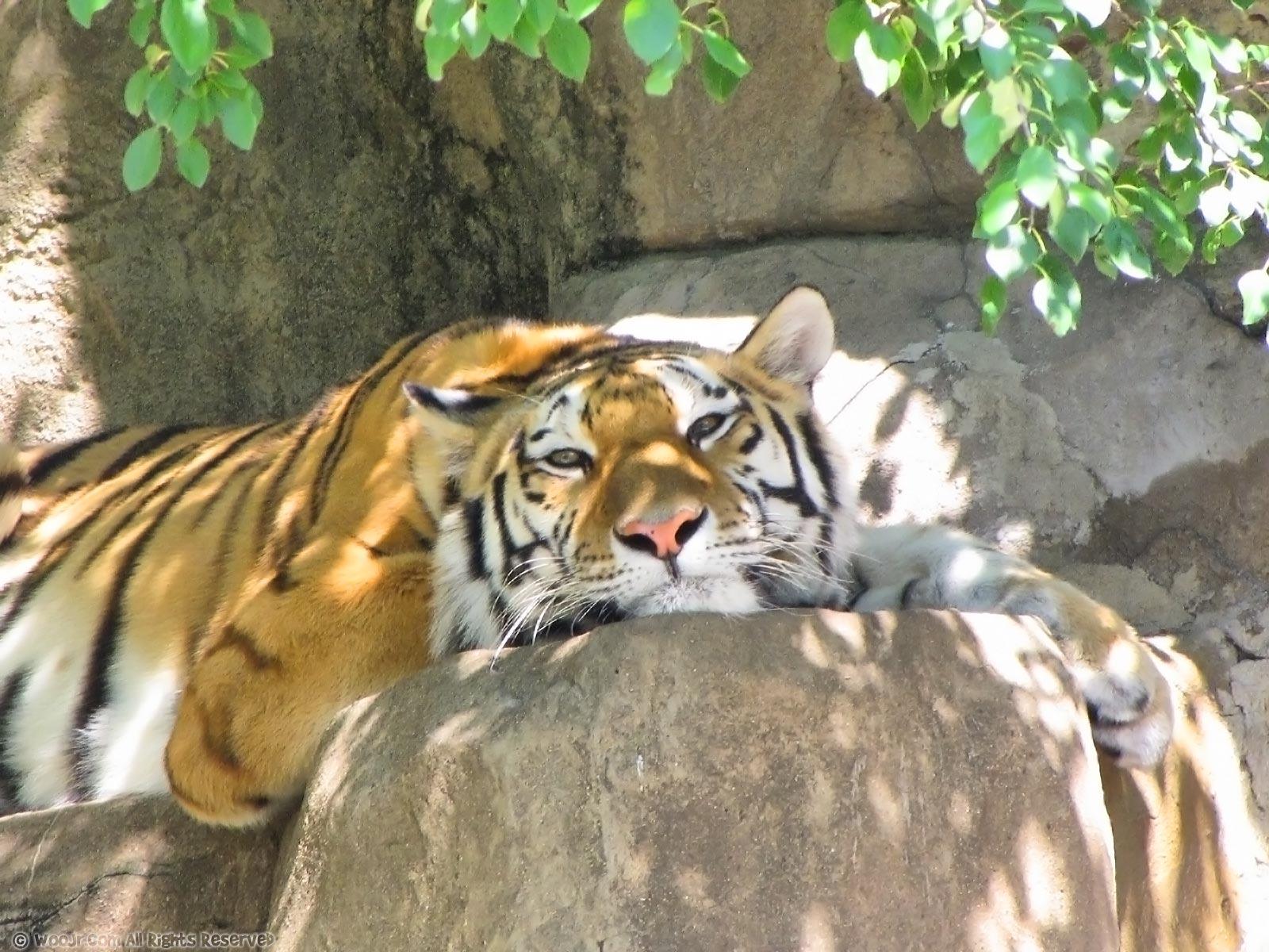 Tiger Wallpaper 1600 X - Zoo Animal , HD Wallpaper & Backgrounds