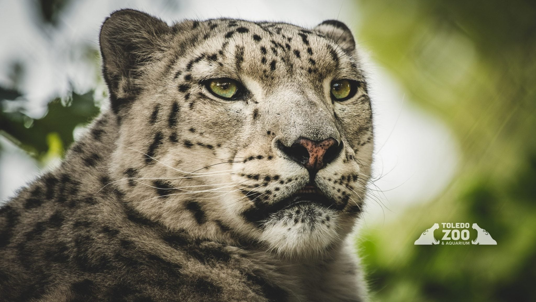 Click On A Thumbnail To Download A Full-size Wallpaper - Snow Leopard , HD Wallpaper & Backgrounds