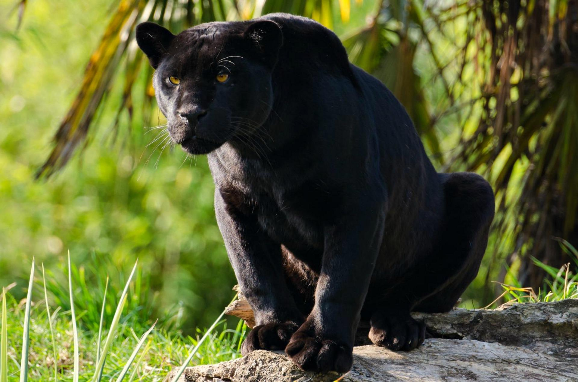 Black Panther Jungle Cat Black Jaguar Animal Wallpaper Black Jaguar Hd 2134475 Hd Wallpaper Backgrounds Download