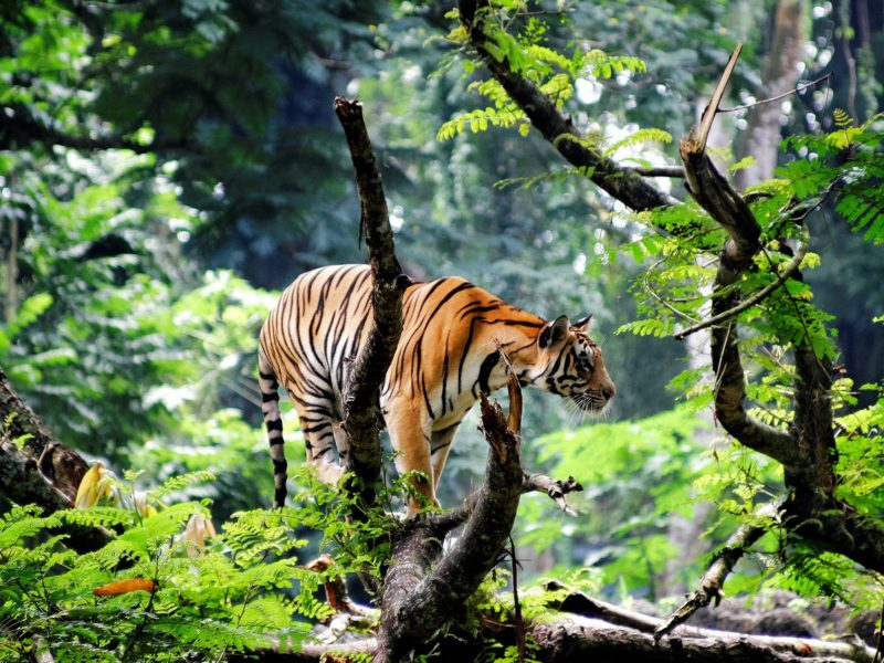 Bengal Tiger In A Jungle Wallpaper - Bengal Tiger In Jungle , HD Wallpaper & Backgrounds