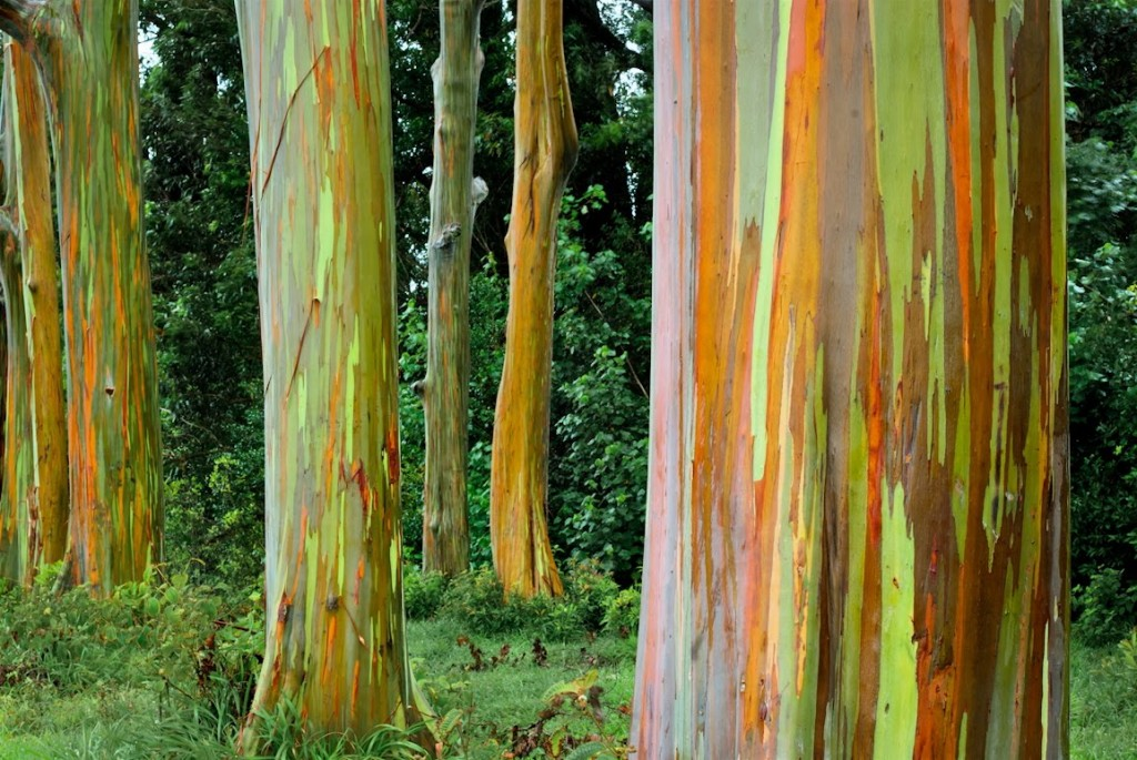 213 2135656 rainbow eucalyptus in hawaii wallpapers hd rainbow eucalyptus