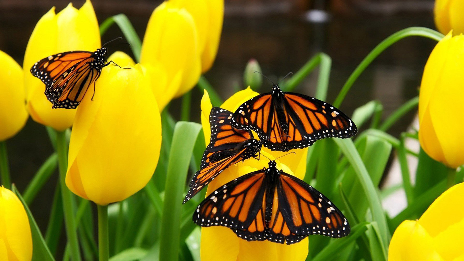Butterfly Flowers Monarch Yellow Insects Original Images - Monarch Butterfly Desktop Backgrounds , HD Wallpaper & Backgrounds