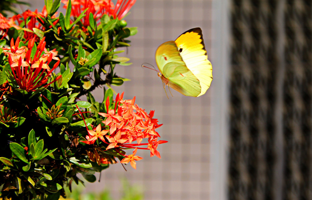 Yellow Butterfly Hovering Over Red Ixora - Yellow Butterfly In Garden , HD Wallpaper & Backgrounds