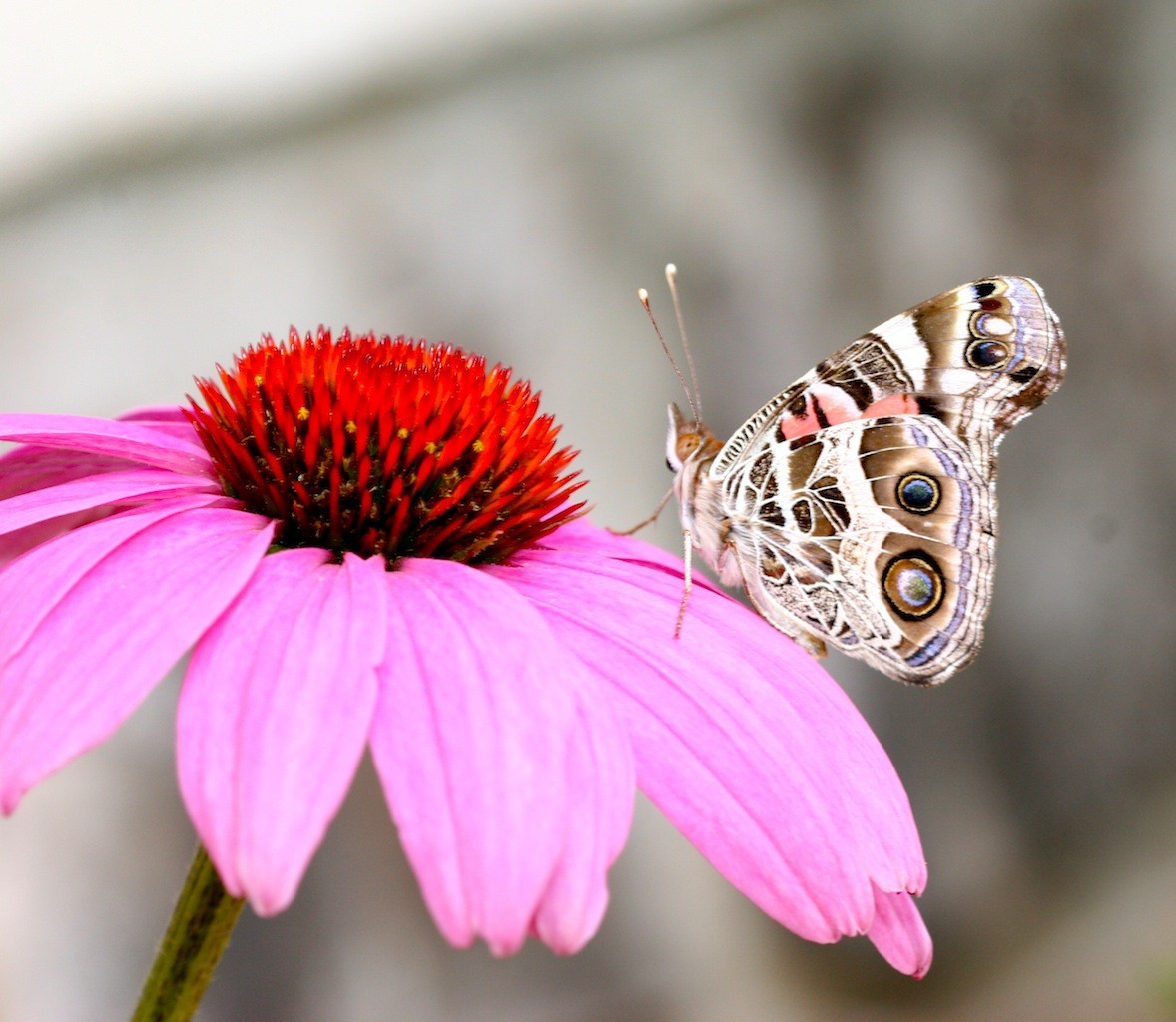 Pink Butterfly And White Flowers 2184205 Hd Wallpaper