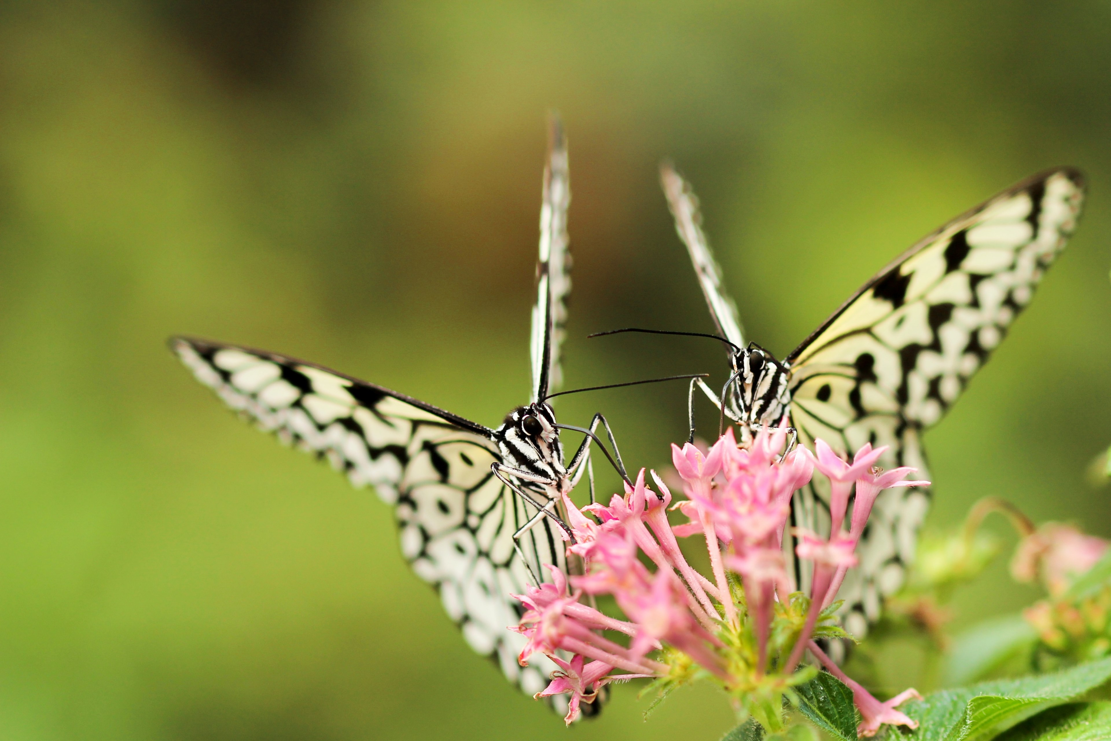#3840x2560 Two Black And White Butterflies On Pink - Hug Day Images With Good Morning 2019 , HD Wallpaper & Backgrounds