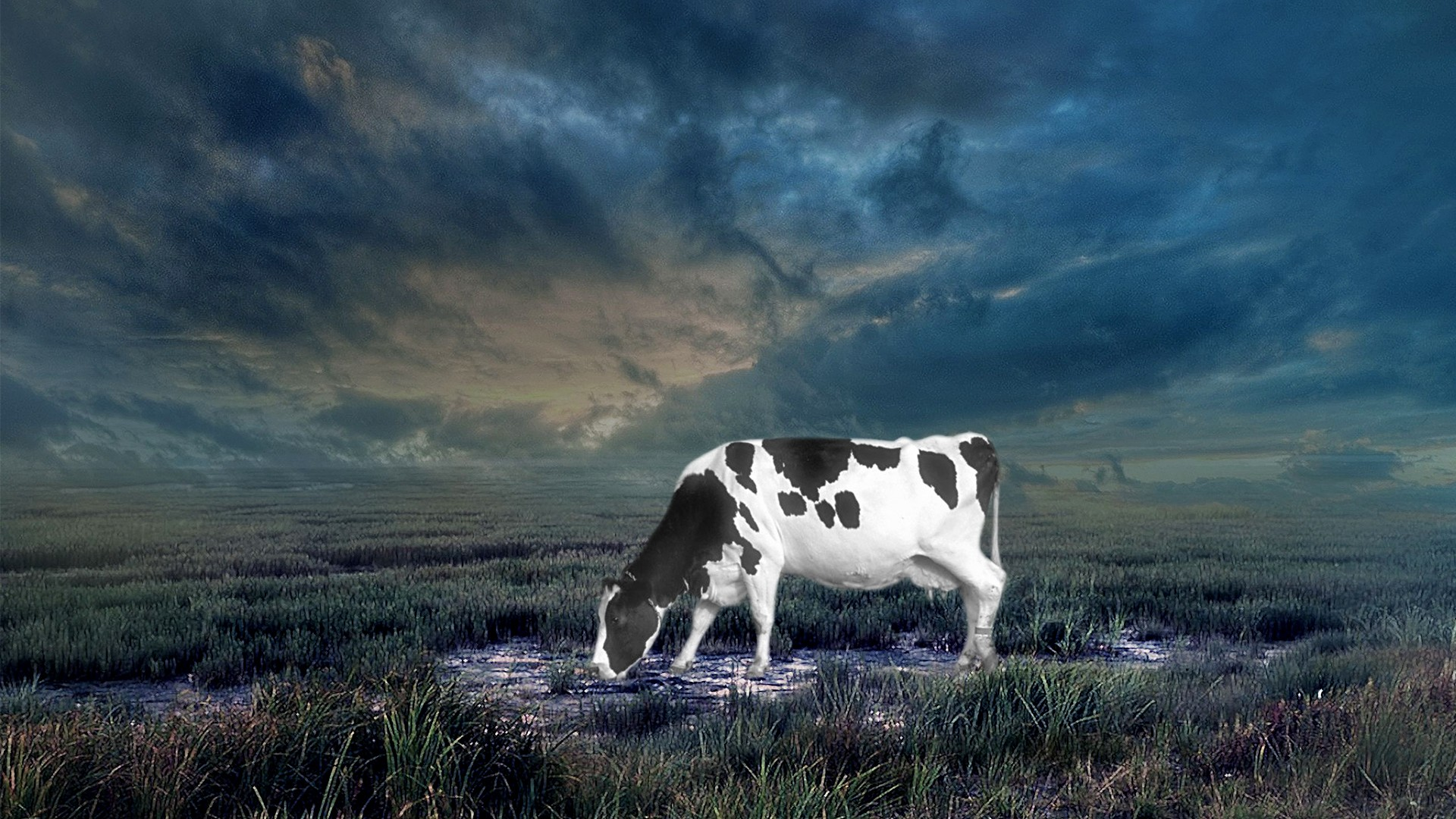 Cow High Definition Wallpapers High Resolution Cow