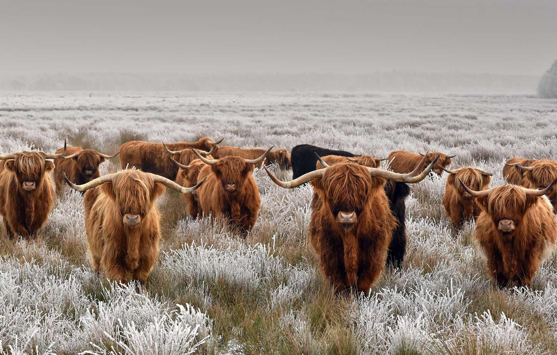 Photo Wallpaper Frost, Field, Horns, The Herd, Scottish ... - photo#31