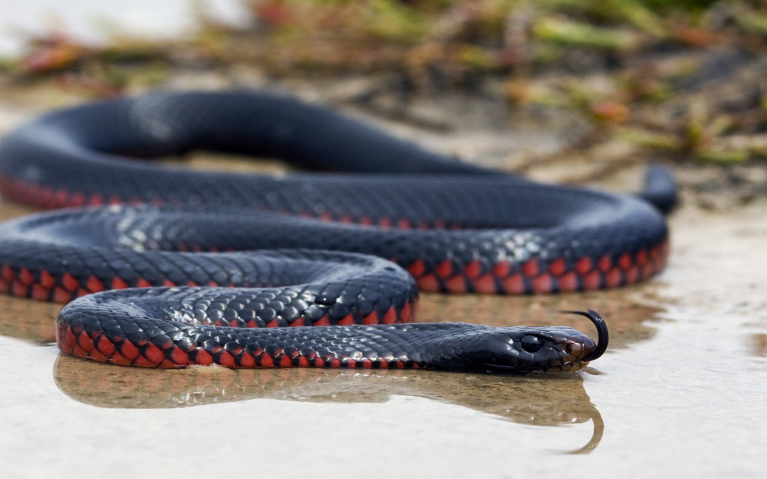 Awesome Black Mamba Snake Images Ehidna Zmeya 2188345 Hd Wallpaper Backgrounds Download